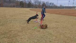 Iris von Prufenpuden 1 Yr Black German Shepherd Obedience Protection Trained Dog For Sale