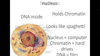 YouTube   cell nucleus
