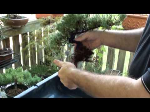 Great Creating A Juniper Bonsai. Dallas Bonsai Garden