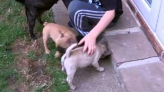 French Bulldog X Pug (frugs) Spotty