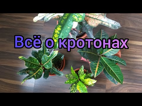 Комнатные растения. Кротон, уход в домашних условиях. Освещение, грунт, полив, размножение и пр.
