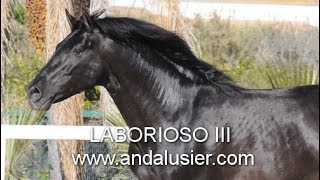 "LABORIOSO III andalusier.com PRE Rappe ""calificado"" breeding stallion"