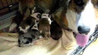 ウェルシュ・コーギー・カーディガンのクッキーが6頭の子犬を生みました...