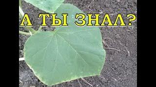 Если у листьев ОГУРЦА желтеют края... ЧТО ДЕЛАТЬ?