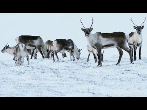 Reindeer Eyes Change Colour With Arctic Seasons Hd Youtube