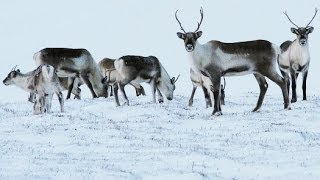 Reindeer eyes change colour with Arctic seasons HD