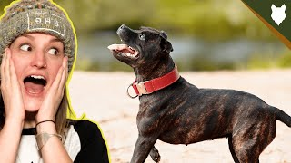 ARE STAFFORSHIRE BULL TERRIER GOOD FOR FIRST TIME OWNERS