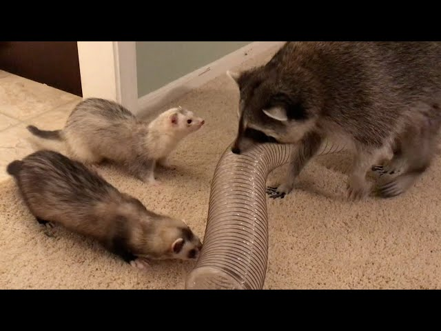 Raccoon and Ferret Playdate!