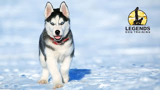 Siberian Husky Puppy: Leash Training