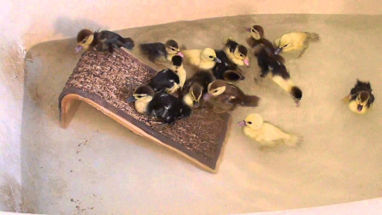 Baby ducks swimming in a bathtub. - YouTube