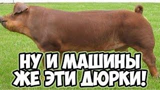 Мясная порода свиней - Дюрок