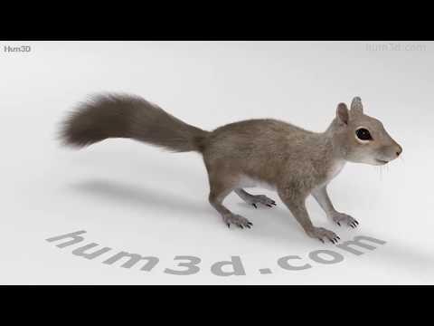 Squirrel HD 3D model by Hum3D.com