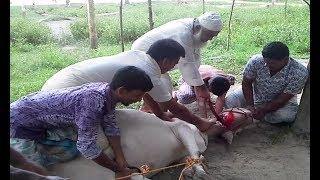 Top Control Cow Qurbani In Bangldesh 2017 pakistin bangladesh | indonesia