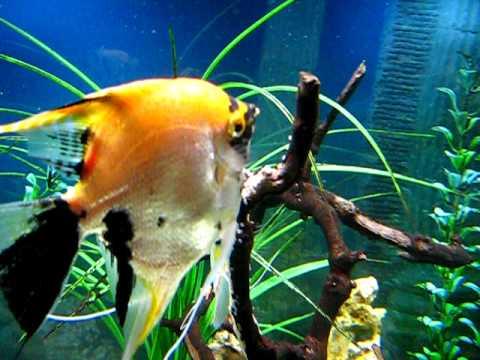 Gold Marble Angelfish Spawning