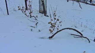 Подготовка и укрытие винограда на зиму(Про подготовку и укрытие винограда на зиму. Подробности смотрите на сайте http://vinograd-is.ru/ukrytie-vinograda-na-zimu-vvedenie/, 2013-12-28T19:05:20.000Z)