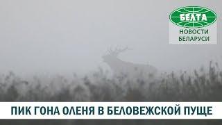 В Беловежской пуще пик гона благородного оленя