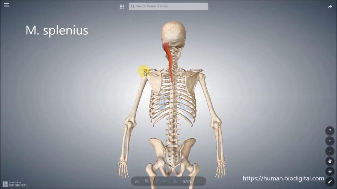Ziemlich Ursprung Der Anatomie Fotos - Anatomie Ideen - finotti.info