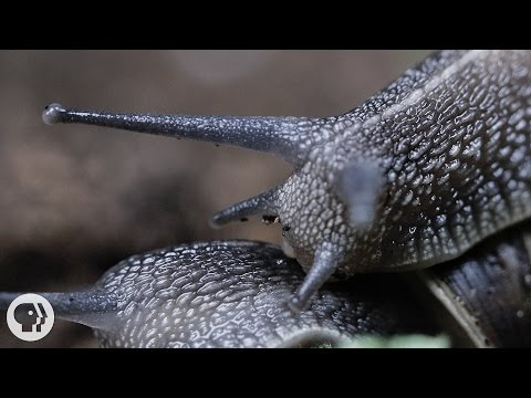 Everything You Never Wanted to Know About Snail Sex  |  Deep Look