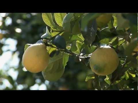 Growing California video series: Lemon Appeal