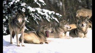 Дикие волки спасли беременную женщину во время бури и стали ее акушерами.
