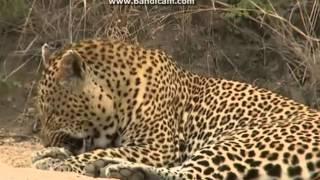 Leopard z afrykańskiej sawanny - ,, Safari