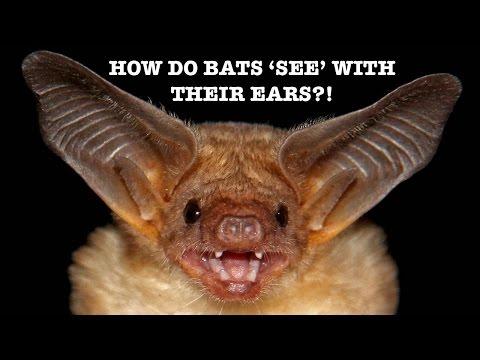 How Do Bats 'see' With Their Ears?! - Spark 12