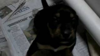 Rescue Puppies -  Adopted!  3 Wks - Black And Tan Coonhound/labrador Retriever Mix