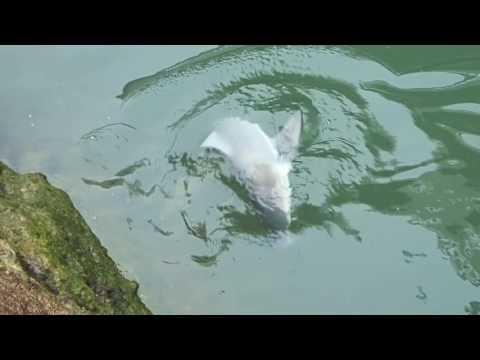 住宅街の川でサメを釣…