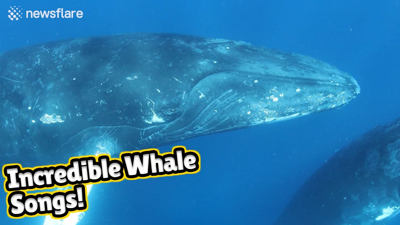Stunning audiovisual recording of humpback whales singing