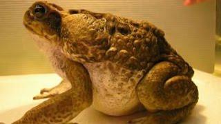 Жаба ага. Необычные домашние животные