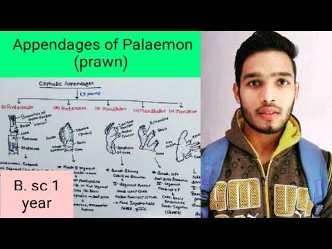 Appendages Of Palaemon (prawn)