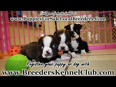 Boston Terrier PUPPIES FOR SALE GEORGIA LOCAL BREEDERS