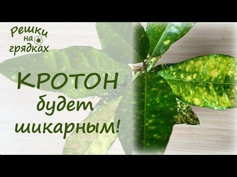 ��Кротон красавец-привереда! �� Кодиеум Уход в домашних условиях Почему опадают листья у кротона