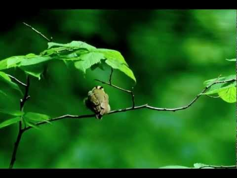 Worm-eating Warbler: UW Arboretum 05/23/13