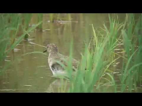 [4K] オジロトウネン(1)旅鳥または冬鳥(各地) -