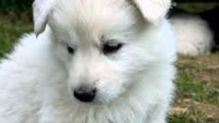 Köpek havlama sesi