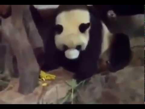 Панда Нассала И Насрала На Другую Панду