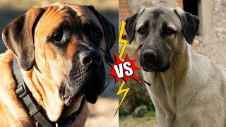 English Mastiff VS Anatolian Shepherd   Anatolian Shepherd VS English Mastiff Dog Breeds
