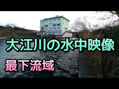 #大江川 #水中 大江川の水中映像 最下流域