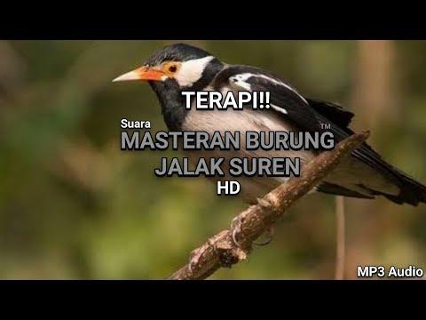TERAPI Suara Masteran - Burung Jalak Suren Gacor 100% Berhasil HD MP3 Audio