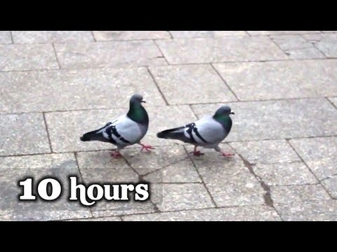 "Pigeons - 10 hours of ""What is love"" (volume 5)"