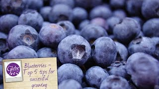 Blueberries - Top 5 tips for successful growing