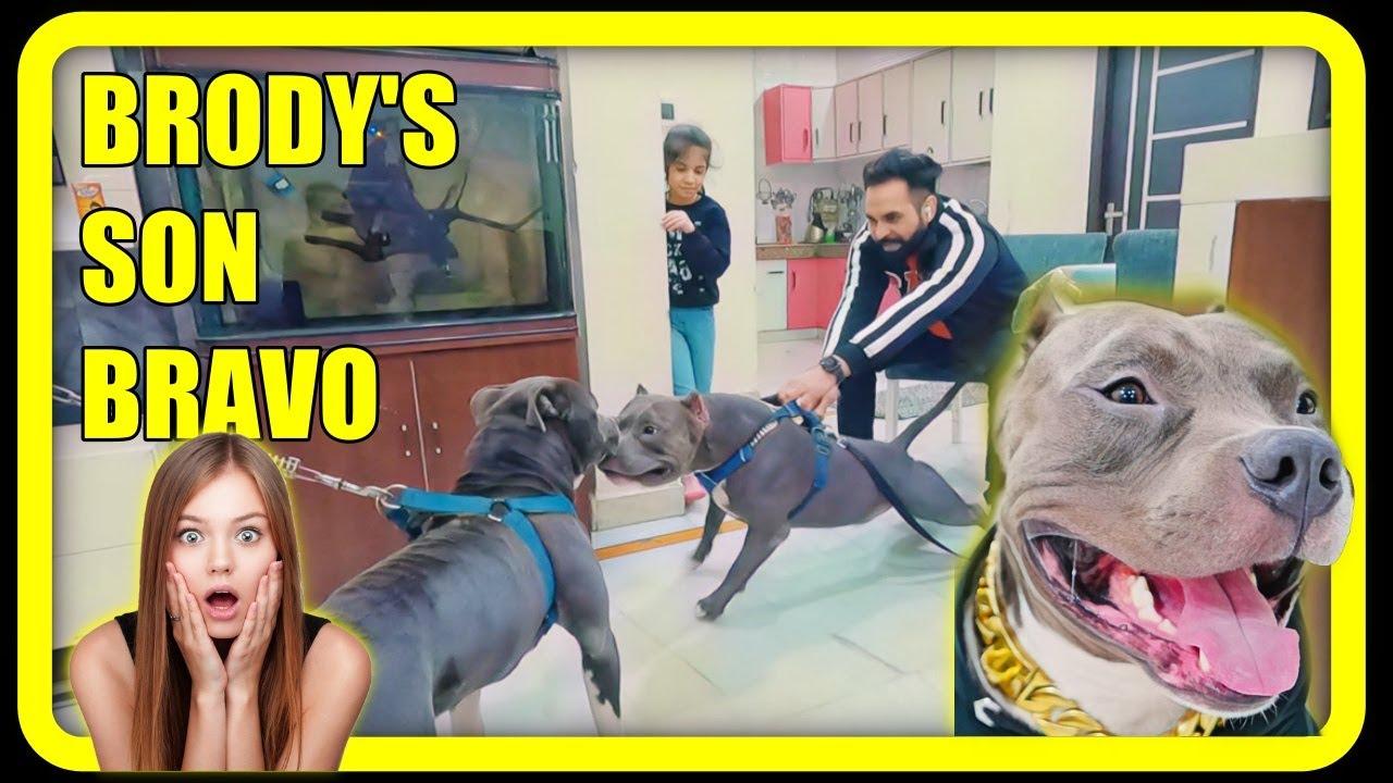 Download Meet Brody's Son Bravo ❤️ American Bully Pitbull Fight and Cute French Bulldog Bunny | Harpreet SDC