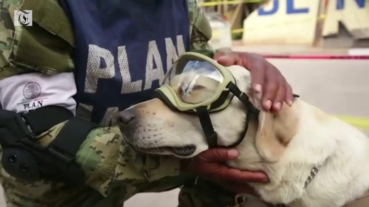 Frida la perrita rescatista de la marina mexicana