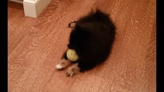 Cute Fluffy Puppy Jack Gets Ball Stuck In Mouth