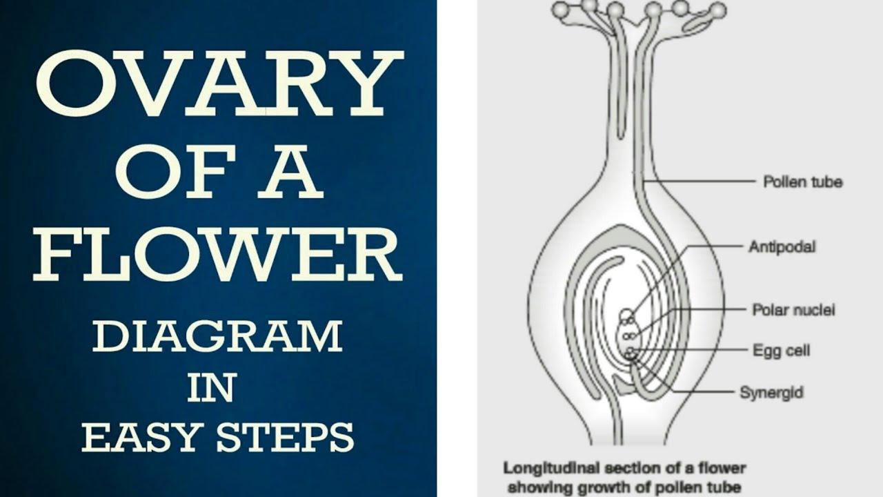 How to draw Germination of Pollen on Stigma_#ovary of a ...