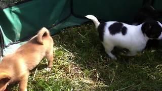 щенки чихуа: мальчик и две девочки