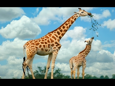 Giraffe Documentary | Narrated by David Attenborough | African Giraffes | Yellow Long Neck Animal