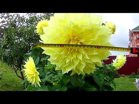 Супер георгина Келвин Флудлайт крупноцветковй. Цветок - 26 см и больше!!!!!
