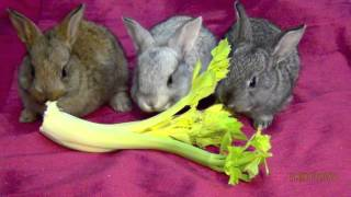 My Cute Pet Baby Bunnies Eating Lettuce - Funny Bunny Rabbits Babies Pets - Close Up